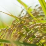 稲(米のとぎ汁)