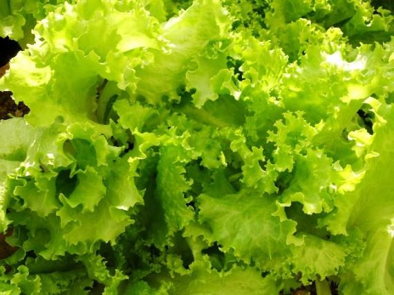 免疫力を高める食べ物 レタス