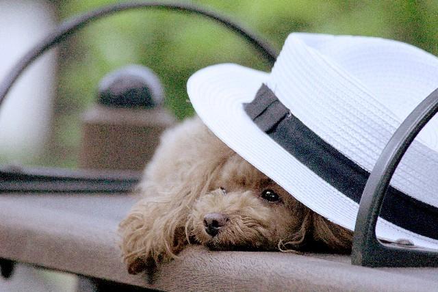 犬 帽子画像
