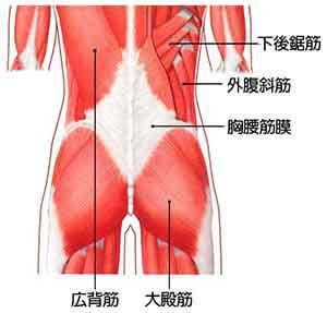腰の筋肉の図解